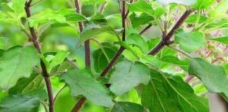 तुलसी के 21 फायदे और उपयोग - Tulsi Ke Fayde in Hindi Tulsi Plant Herb Leaves