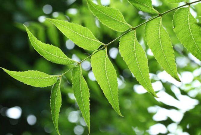 नीम के फायदे - Neem Tree Uses in Hindi Neem Leaves Oil नीम तेल के फायदे
