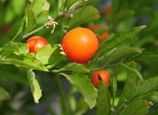 Ashwagandha Benefits in Hindi Plant Uses Jankari अश्वगंधा के फायदे / लाभ