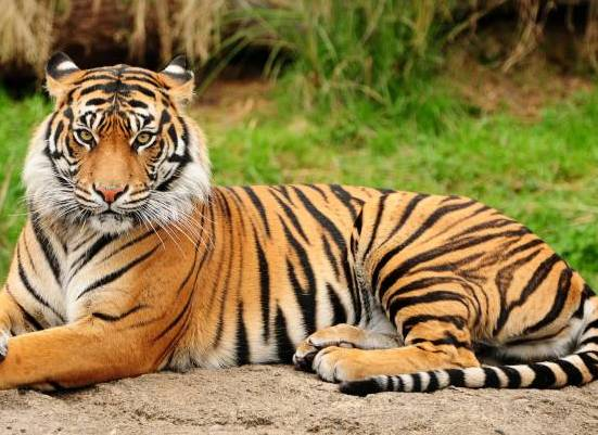 Essay On Tiger in Hindi / Information