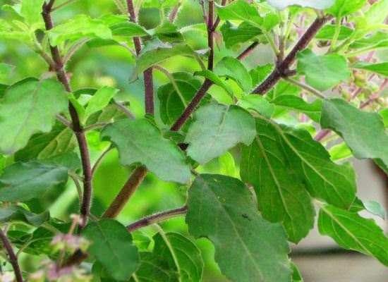21 Tulsi Ke Fayde in Hindi तुलसी के फायदे और उपयोग plant herb leaves faide
