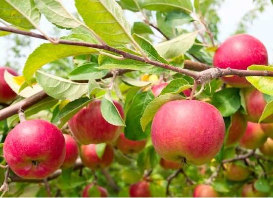 Apple Fruit Benefits in Hindi - एप्पल बेनेफिट्स इन हिंदी - सेब के फायदे
