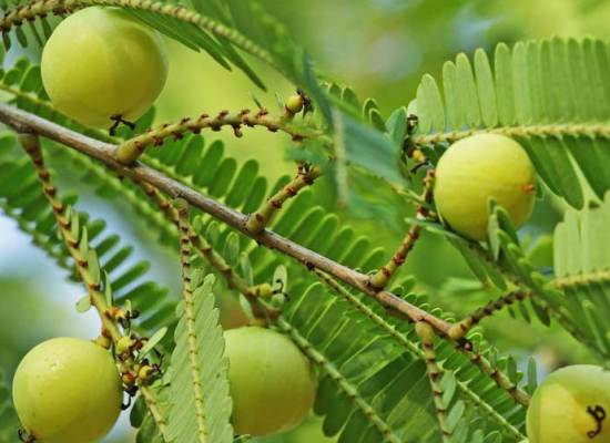 आंवला जूस के फायदे - Amla Juice Benefits in Hindi Fayde For Hair