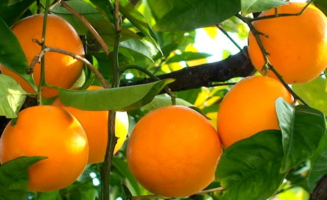 Orange Fruit Benefits in Hindi Santra Upyog Karne Ka Tarika