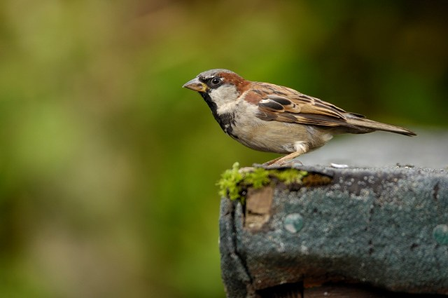 Information about Sparrow in Hindi गौरैया पर
