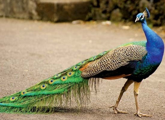 Essay on National Bird Peacock in Hindi मोर पर निबंध paragraph deatil lines
