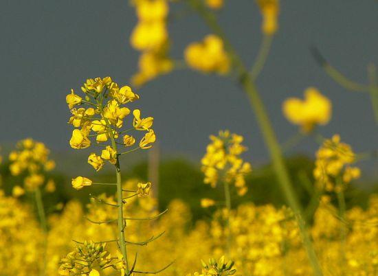 Sarso Ka Tel Ke Fayde in Hindi - सरसों का तेल के फायदे Mustard Oil Benefits